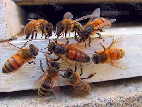 honeybees picture