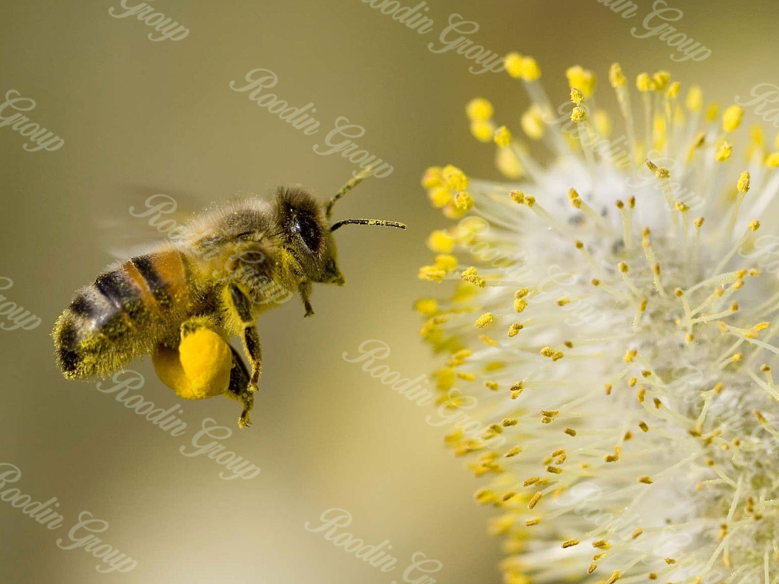 bee pollen meaning