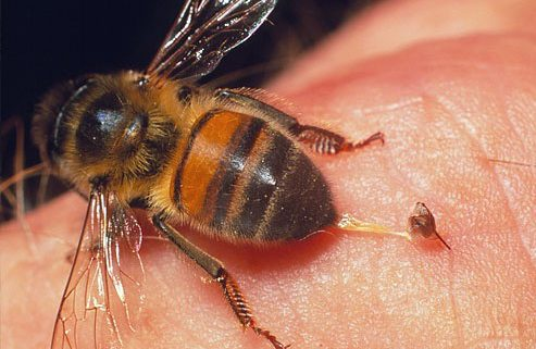 honey bee venom